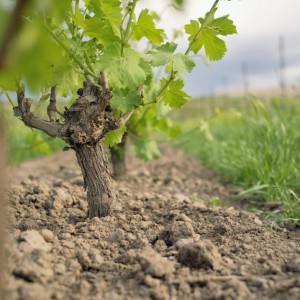 SJR Vineyard