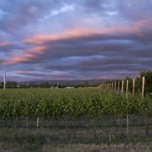 Waliser Vineyard