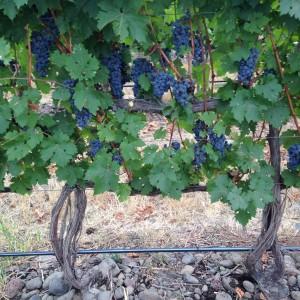 Winesap Road Vineyard