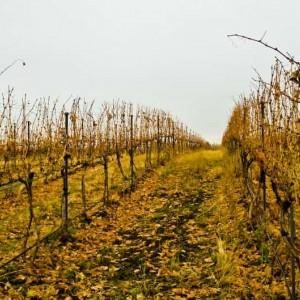 Yellow Jacket Vineyard